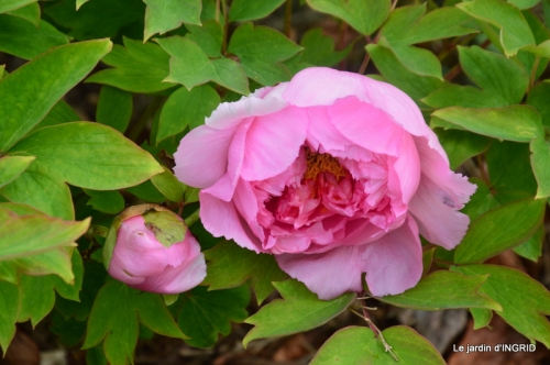 jardin confiné ,osier,magnolia jaune 041.JPG