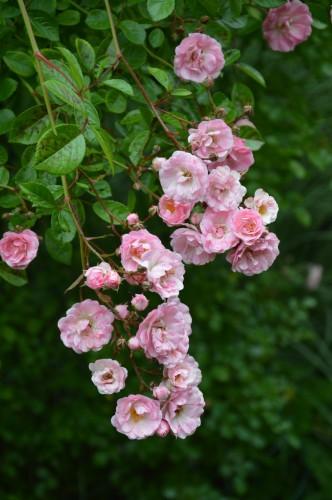 jardin,potager,roses,sauges 036.JPG