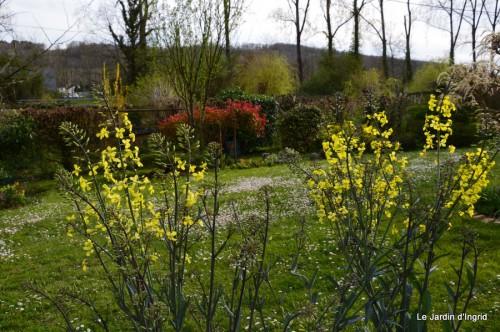 jardin ,cane sauvage,paquerettes,tulipes 156.JPG