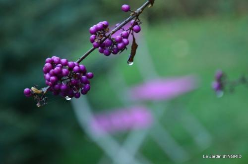 kakis,dernières fleurs,pt jardin,Julie,bassin 004.JPG