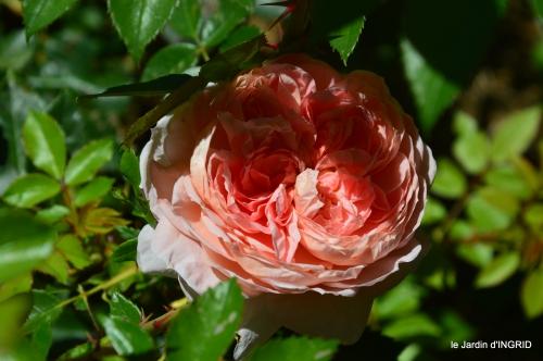 le jardin de Frescati,roses 055.JPG