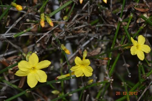 mésanges, nid frelons,fleurs décembre 132.JPG