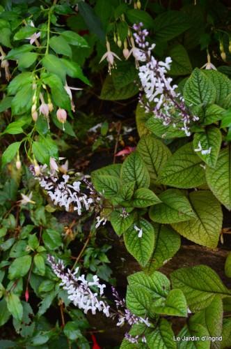sauges,plectanthrus,Romane,canal,manthe r.,automne 079.JPG