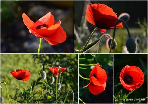 2016-05-01 coquelicots,fête des fleurs Lalinde,fouleix,jardinage5.jpg