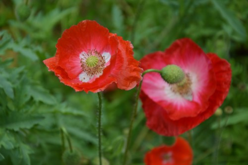 coquelicots,pivoines ,moi moi,roses 013.JPG