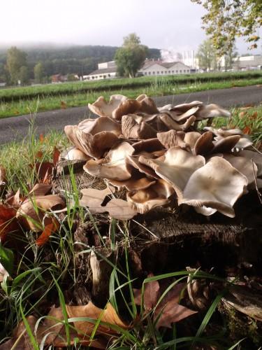 vigne vierge,champignons,m'Bon 032.JPG
