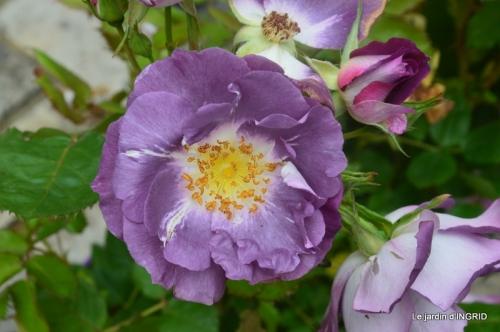 Colombier,Cadouin,jardin,roses,pluie 039.JPG