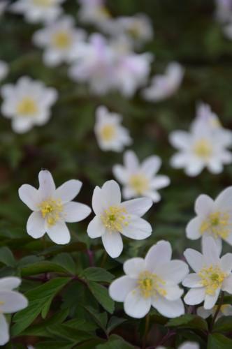 fleurs Ciron,jardin,canards,coucous,mauvaise herbe 042.JPG