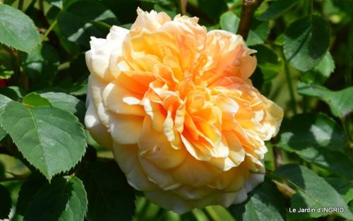 Cadouin,ancolies,roses,pollen,osier,photos Fabien,coquelicots 211.JPG