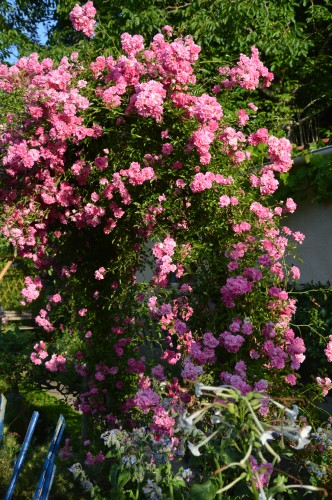 potager ,roses,jardin 006.JPG