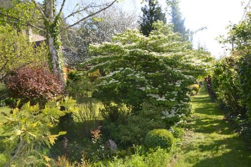 iris,arbre de judée,pivoine,Arya,viburnum,pts plants,cytise,akéb 036.JPG