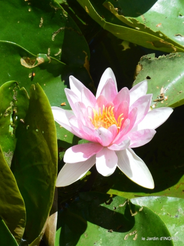 le jardin de Frescati,roses 050.JPG
