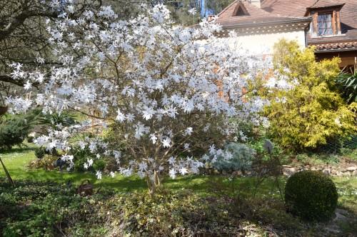 troc graines Neufont,magnolia stelleta 071.JPG