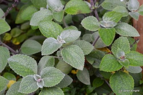 ménage automne,plectanthrus,feuillages 135.JPG