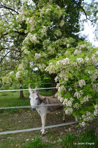 canal,fleurs blanches,marguerites,LE FLEIX,osier 035.JPG