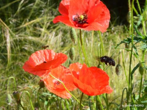 cygnes,Sophie,jardin en mai 047.JPG
