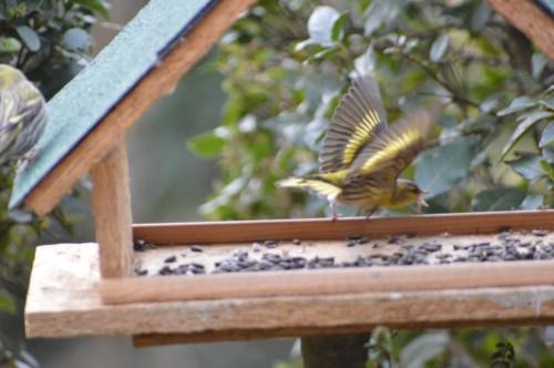 les oiseaux sur terrasse 011.JPG