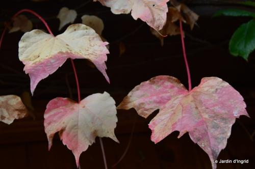 les tons roses,choux frisés,automne 088.JPG