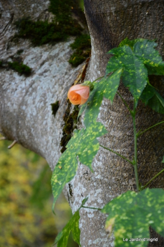 travaux,érable rouge,abeilles,Monpazier,jardin 078.JPG