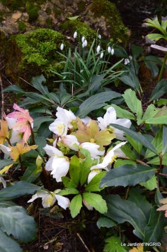 hélébores,bruyères,arbustes fleuries,mésanges 001.JPG