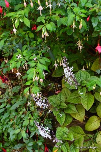 sauges,plectanthrus,Romane,canal,manthe r.,automne 080.JPG