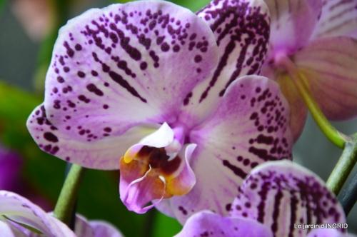 Orchidées,Noel jardiland,lever du soleil 019.JPG