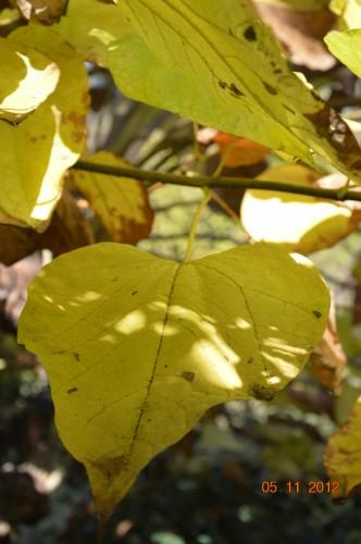 Ciron,feuilles d'automne,safran,taille érable 122.JPG