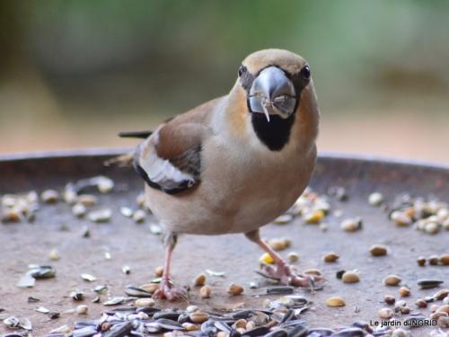vue sur la terrasse,crocus,oiseaux, 018.JPG