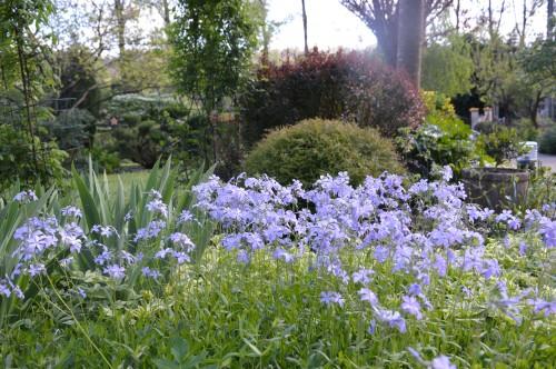 iris,arbre de judée,pivoine,Arya,viburnum,pts plants,cytise,akéb 001.JPG