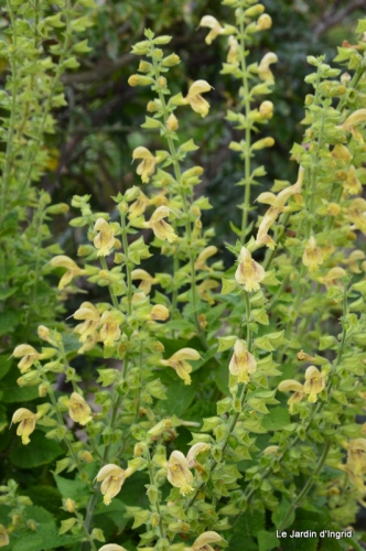 sauges,lantanas,Julie,Bernadette,canal,jardin 247.JPG