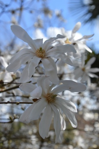 troc graines Neufont,magnolia stelleta 065.JPG