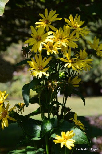 jardin,puces Lasmonzie,asters 127.JPG