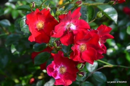 roses,poule d'eau,bébés cygnes, 173.JPG