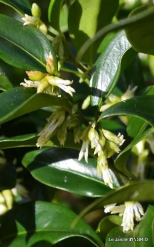 hélébores,bruyères,arbustes fleuries,mésanges 071.JPG