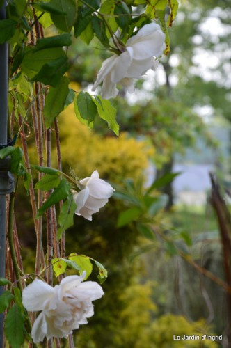 géraniums,glycine Monpazier,cabane,arums,fleurs sauvages 132.JPG