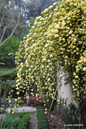 rosier de banks,jardin,cygnes,osier 057.JPG