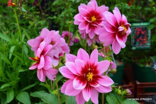 Cadouin,ancolies,roses,pollen,osier,photos Fabien,coquelicots 056.JPG