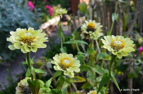 jardin,insectes,paillote,chrysanthèmes,rouge-gorge 051.JPG