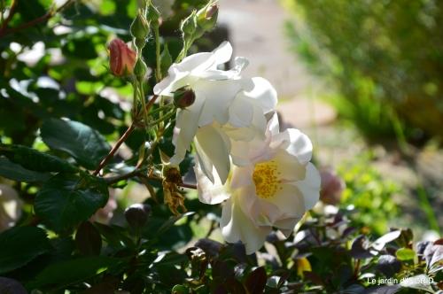 Julie,Lalinde,Cygnes,Roses,Osier à Monbazillac 102.JPG