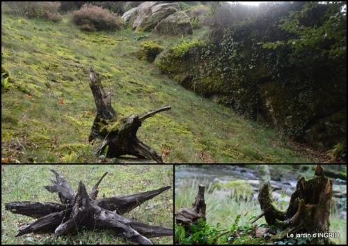 2019-10-22 la Sedelle,étang de Riault,cyclamens2.jpg