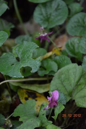 mésanges, nid frelons,fleurs décembre 128.JPG
