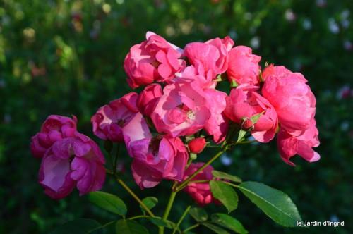 jardin,asters,fleurs blanches,chatte,rosiers roses 008.JPG