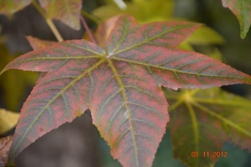 Ciron,feuilles d'automne,safran,taille érable 095.JPG