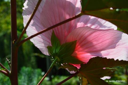 Ines,bouquet,hibiscus rose,cygnes,jardin 138.JPG
