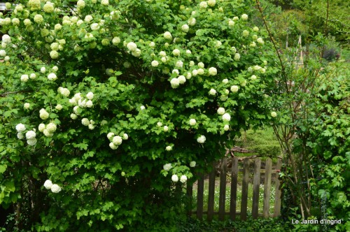 géraniums,glycine Monpazier,cabane,arums,fleurs sauvages 140.JPG