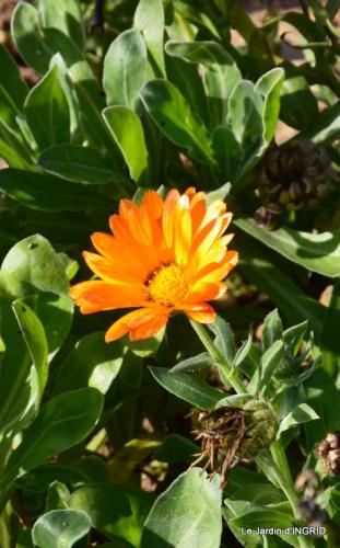 kakis,dernières fleurs,pt jardin,Julie,bassin 058.JPG