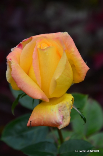 kakis,dernières fleurs,pt jardin,Julie,bassin 087.JPG