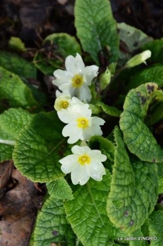 hélébores,bruyères,arbustes fleuries,mésanges 028.JPG