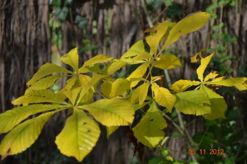 Ciron,feuilles d'automne,safran,taille érable 117.JPG