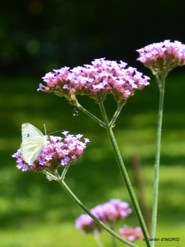 jardin,papillons,Cadouin,légumes,Sophie, 161.JPG
